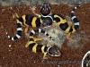 Eublepharis macularius (BLYTH, 1854)